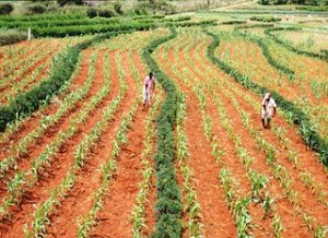 alley cropping of Gliricdia with maize