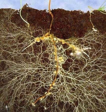 How mycorrhizal fungi benefit plants