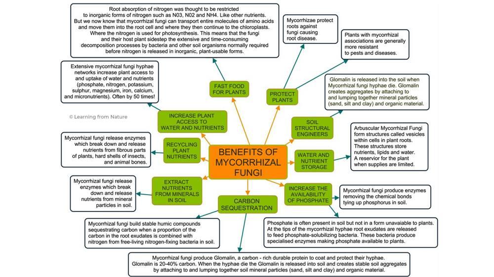 Infographic showing the benefits of Mycorrhizal Fungi