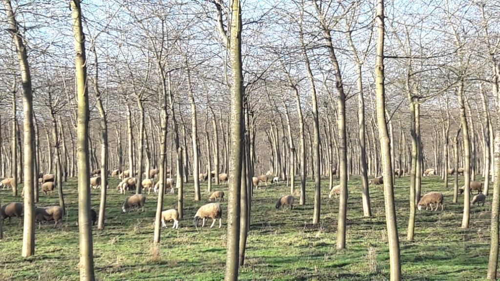 Sheep grazing in Silvopasture to drought-proof grazing land