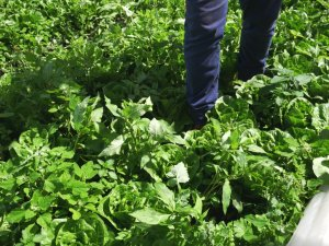 Showing a practical solution to weeds in lettuce