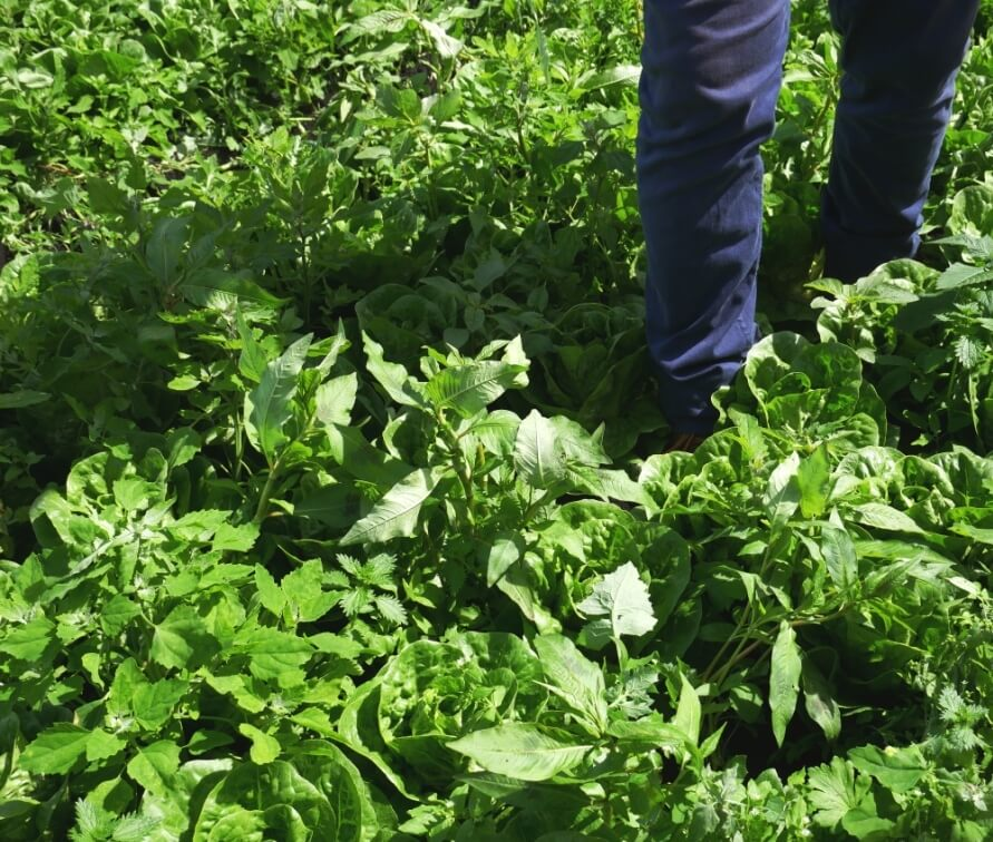 Practical solution to weeding is to let them grow among your crops