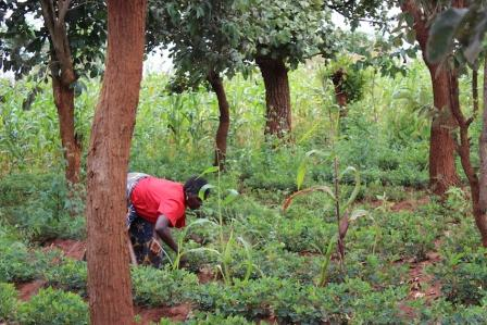woman drought-prooing her garden with trees