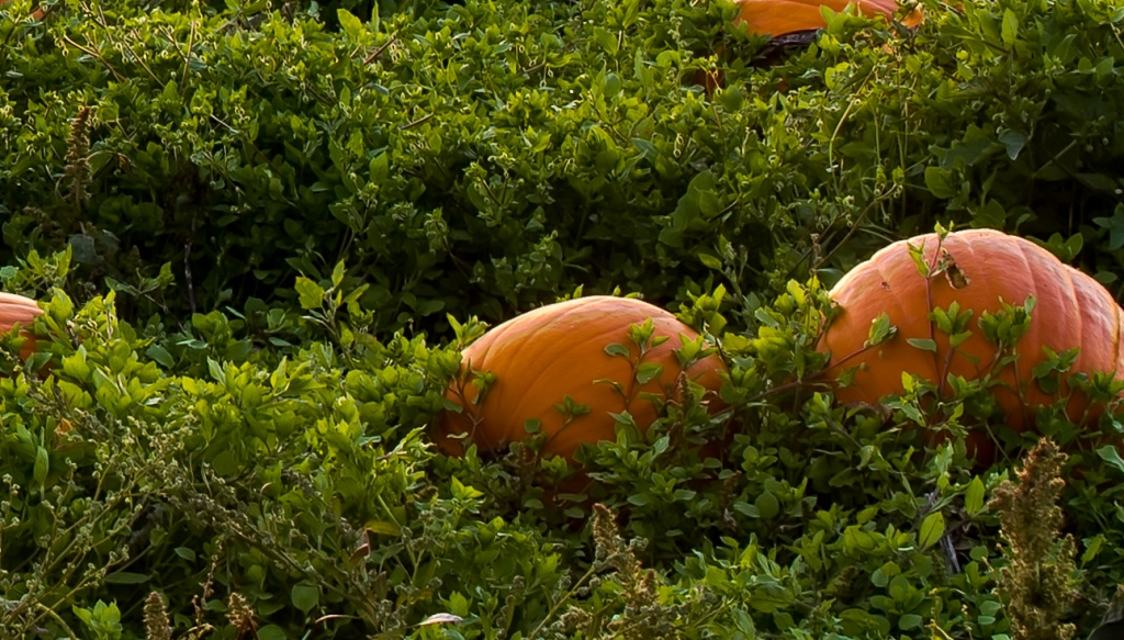 Image showing pumpkins grown with living much